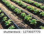 rows of young potatoes plants... | Shutterstock . vector #1273037770