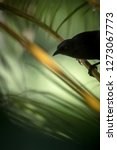 Stock photo carib grackle sitting on palm tree in garden trinidad and tobago black bird perching on branch 1273067773