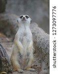 suricata suricatta with...   Shutterstock . vector #1273097776