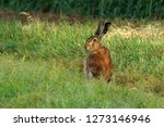 Stock photo the european hare lepus europaeus also known as the brown hare is a species of hare native to 1273146946