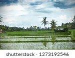 spring green rice fields by... | Shutterstock . vector #1273192546