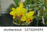 cattleya labiata hybrid yellow... | Shutterstock . vector #1273204393