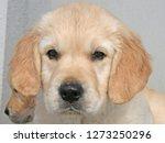 Stock photo portrait of golden retriver puppy 1273250296