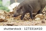 close up. the black boar in... | Shutterstock . vector #1273316410