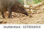 close up. the black boar in... | Shutterstock . vector #1273316413