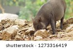 close up. the black boar in... | Shutterstock . vector #1273316419