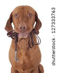 Stock photo dog holding leash in mouth on white background 127333763