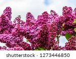 blooming lilac bush in spring... | Shutterstock . vector #1273446850