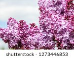 blooming lilac bush in spring... | Shutterstock . vector #1273446853
