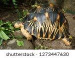 Stock photo  portrait of radiated tortoise the radiated tortoise eating flower tortoise sunbathe on ground 1273447630
