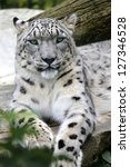 Snow Leopard Portrait Of A Sno...