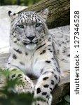 Snow Leopard Portrait Of A Sno...