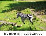 a zebra st the zoo   Shutterstock . vector #1273620796