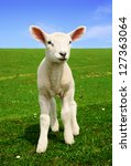 Nosiness Lamb   Photo Made In...