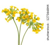 Cowslip Flowers Over White...