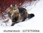 a pretty young norwegian forest ... | Shutterstock . vector #1273753066