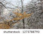 yellow hamamelis blooms in...   Shutterstock . vector #1273788793