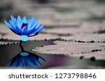 lotus flower hd background and... | Shutterstock . vector #1273798846