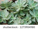 succulent echeveria plant ... | Shutterstock . vector #1273904980