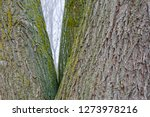 trunks and bark of weeping... | Shutterstock . vector #1273978216