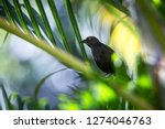 Stock photo carib grackle sitting on palm tree in garden trinidad and tobago black bird perching on branch 1274046763