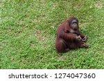 ape knows as orang utan | Shutterstock . vector #1274047360