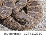 Small photo of Rattle Snake Curling