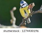 portrait of a bluetit ... | Shutterstock . vector #1274430196
