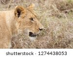 adult lioness in the... | Shutterstock . vector #1274438053