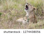 lioness yawning in the long... | Shutterstock . vector #1274438056