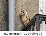screech owl tyto alba perching... | Shutterstock . vector #1274454976