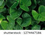 heart shaped green leaves of... | Shutterstock . vector #1274467186