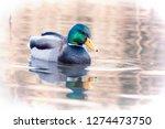 mallard duck  anas... | Shutterstock . vector #1274473750