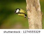 the great tit  parus major  is...   Shutterstock . vector #1274555329