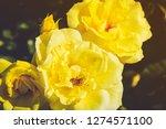 vaduz yellow rose | Shutterstock . vector #1274571100