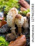 us  wa. shaggy mane mushroom ... | Shutterstock . vector #1274613583