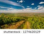 Vineyard in summer sun in Yakima Valley in Eastern Washington State, USA.