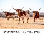 Three Texas Longhorn Cows Unde...