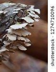 White Bracket Fungi On Log
