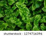 fresh green brazilian spinach... | Shutterstock . vector #1274716396