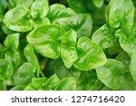 fresh green brazilian spinach... | Shutterstock . vector #1274716420