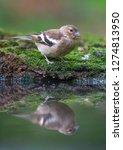 the common chaffinch  fringilla ...   Shutterstock . vector #1274813950