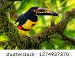 Collared Aracari   Pteroglossus ...