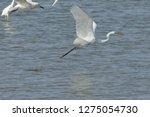 white heron taking off on the...   Shutterstock . vector #1275054730