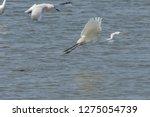 white heron taking off on the...   Shutterstock . vector #1275054739