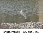 gray heron reflected on the...   Shutterstock . vector #1275058453