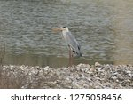 gray heron reflected on the...   Shutterstock . vector #1275058456