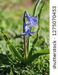 view on hyacinthus orientalis ...   Shutterstock . vector #1275070453