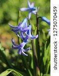 view on hyacinthus orientalis ...   Shutterstock . vector #1275070459