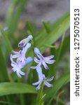 view on hyacinthus orientalis ...   Shutterstock . vector #1275070513